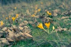 Açafrões amarelos na floresta da mola entre a grama Imagem de Stock Royalty Free