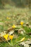 Açafrões amarelos na floresta da mola entre a grama Foto de Stock