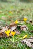 Açafrões amarelos na floresta da mola entre a grama Fotografia de Stock Royalty Free