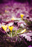 Açafrões amarelos na floresta da mola entre a grama Fotografia de Stock