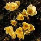 Açafrões amarelos na luz do sol Imagem de Stock Royalty Free