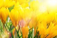 Açafrões amarelos na luz solar bonita Imagem de Stock