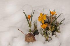 Açafrões amarelos na neve Fotos de Stock