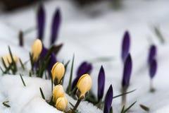 Açafrões amarelos na neve de derretimento Fotografia de Stock