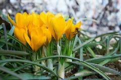 Açafrões amarelos na primavera Imagem de Stock