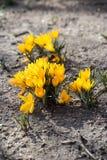 Açafrões amarelos na primavera Foto de Stock