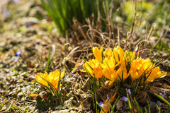 Açafrões amarelos na primavera Fotos de Stock