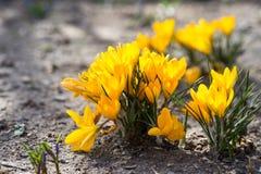 Açafrões amarelos na primavera Imagens de Stock