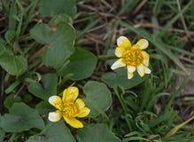 Açafrões amarelos que florescem na mola adiantada Imagens de Stock