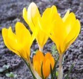 Açafrões amarelos que florescem na mola adiantada Fotografia de Stock