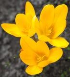 Açafrões amarelos que florescem na mola adiantada Fotografia de Stock Royalty Free
