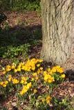 Açafrões amarelos que florescem sob o tronco de árvore Fotografia de Stock Royalty Free