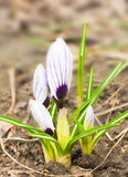 açafrões azuis Branco-escuros de encontro às folhas vermelhas Fotos de Stock Royalty Free