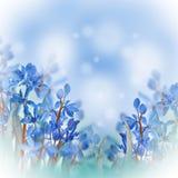 Açafrões azuis da mola Imagem de Stock Royalty Free