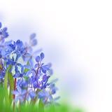 Açafrões azuis da mola Fotografia de Stock Royalty Free