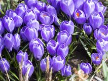Açafrões azuis de florescência bonitos Imagens de Stock