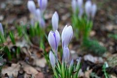Açafrões azuis no jardim Fundo da mola de açafrões da flor Fotografia de Stock Royalty Free