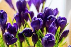 Açafrões bonitos Foto de Stock Royalty Free