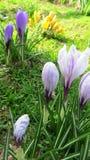 Açafrões bonitos da mola Imagem de Stock Royalty Free