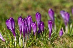 Açafrões bonitos da mola Fotografia de Stock Royalty Free