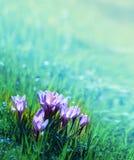 Açafrões bonitos das flores Foto de Stock Royalty Free