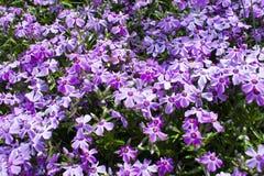 Açafrões bonitos das flores no sol brilhante Imagem de Stock