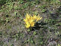 Açafrões bonitos do amarelo da mola Foto de Stock