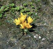 Açafrões bonitos do amarelo da mola Fotos de Stock Royalty Free