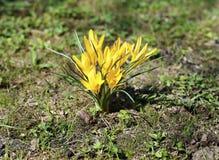 Açafrões bonitos do amarelo da mola Imagem de Stock Royalty Free
