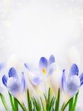 Açafrões bonitos no fundo claro Imagens de Stock Royalty Free