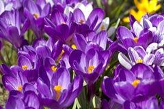 Açafrões bonitos no jardim Imagem de Stock
