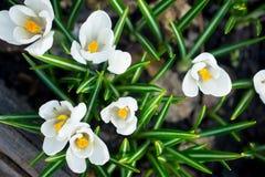 Açafrões bonitos no jardim Imagens de Stock Royalty Free