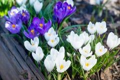 Açafrões bonitos no jardim Fotografia de Stock