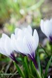 Açafrões bonitos no jardim Imagens de Stock