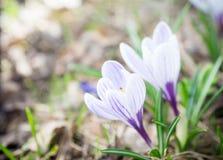 Açafrões bonitos no jardim Fotografia de Stock Royalty Free