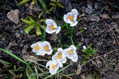 Açafrões bonitos no jardim Fotos de Stock Royalty Free