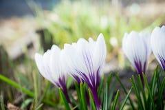 Açafrões bonitos no jardim Foto de Stock Royalty Free