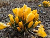 Açafrões bonitos no jardim botânico Foto de Stock