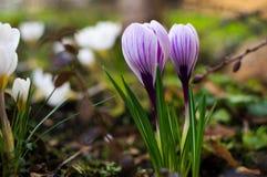 Açafrões bonitos no jardim no dia da luz solar no close up Imagens de Stock