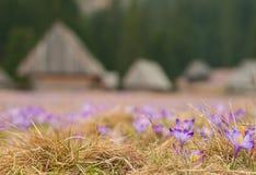 Açafrões bonitos no vale de Chocholowska, montanha de Tatras, Polônia Foto de Stock Royalty Free