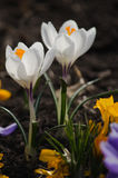 Açafrões brancos Imagem de Stock Royalty Free