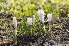 Açafrões brancos Fotografia de Stock