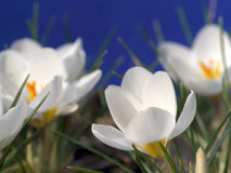 Açafrões brancos Foto de Stock Royalty Free