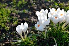 Açafrões brancos Fotografia de Stock Royalty Free