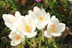 Açafrões brancos Imagem de Stock