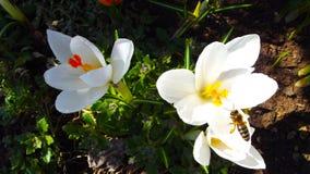 Açafrões brancos bonitos Fotografia de Stock Royalty Free