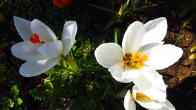 Açafrões brancos bonitos Imagem de Stock
