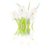 Açafrões brancos com reflexão na água Imagem de Stock Royalty Free