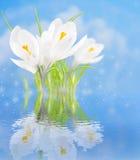 Açafrões brancos com reflexão na água em um fundo azul Imagens de Stock