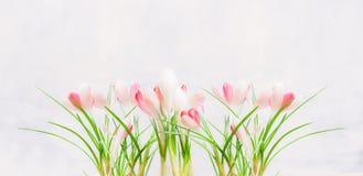 Açafrões brancos cor-de-rosa bonitos no fundo claro Imagens de Stock